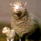 Dolly, 1st Cloned Mammal (Sheep)